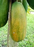 Papaya fresh fruit - Organic - Red Lady variety - Fresh from Florida - 3 to 6 pounds each.