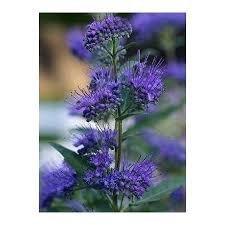 (Liner) Dark Knight Bush- profussion of Dark Blue Flowers in Late Summer, Very Useful in Smaller Yards-(Bluebeard, Blue spirea or Blue Mist)