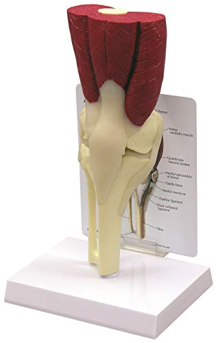 Muscled Knee Anatomical Model Bone (Muscled Knee Joint)