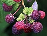 "Brandywine Everbearing Purple Raspberry Plant - 4"" Pot"