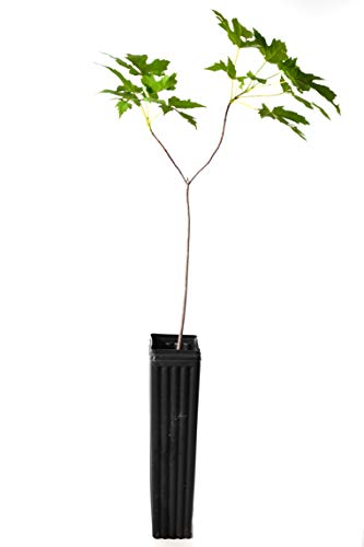 TreesAgain Potted Silver Maple Tree – Acer saccharinum – 12 to 18 inches See State Restrictions