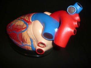 Jumbo Human Heart Anatomical Model 2 Part Brand ()
