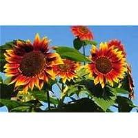 Sunflower Seeds Evening Sun (20 Seeds)