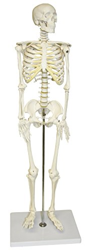 """Vision Scientific VAS202 Half Size Human Skeleton- 33"""" (84cm) 