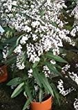 10 Seeds Hardenbergia (Climbing Form) White Coral Pea Plant
