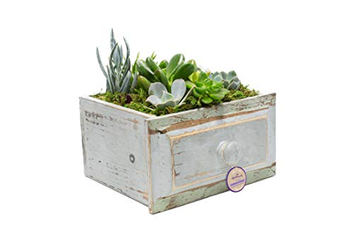 Garden Drawer - Live Succulent Garden Planted In 6