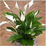 Puspita Nursery Peace Lily Indoor Plant Spathiphyllum (Green)