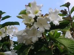 Easter Lily Vine - Beaumontia grandiflora Seeds Easter Lily Vine 40 Seeds