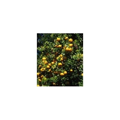 Tart Kumquat Tree - (2 Year Old) Can not Ship Any Citrus Outside The State of Texas : Garden & Outdoor