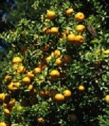 Tart Kumquat Tree - (2 Year Old)