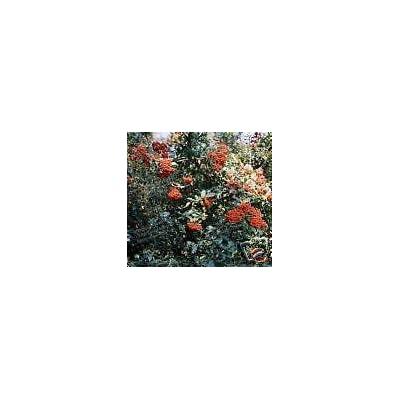 Pyracantha coccinea FIRETHORN SHRUB Seeds! : Garden & Outdoor