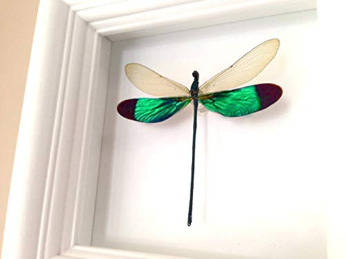 Real Dragonfly Insect Display Taxidermy Art - Damselfly
