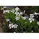 Pond Plants Iris laevigata White Marginal Pond Plants Water Plants-None-9 cm