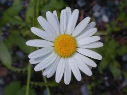 100 Ox Eye Daisy Flower Seeds
