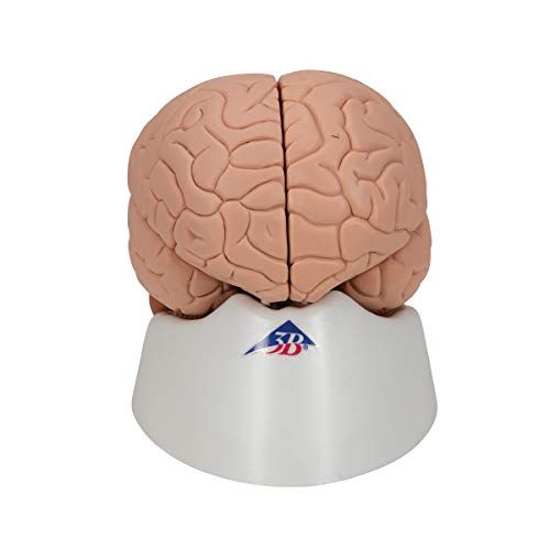 3B Scientific C15 2 Part Brain Model, 5.9
