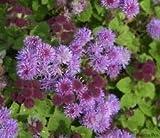 50+ Purple Tycoon Ageratum/Annual Flower Seeds