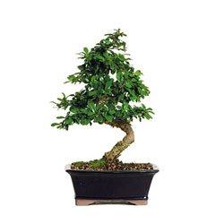 Fukien Tea Bonsai Tree (FT08) (Indoor) from BonsaiOutlet