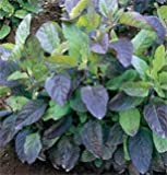 David's Garden Seeds Herb Basil Tulsi Holy (Green) 500 Organic Seeds