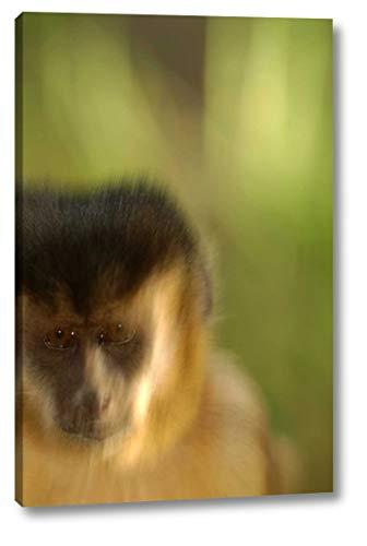 Brown Capuchin Portrait in Cerrado Habitat, Piaui State, Brazil by Pete Oxford - 18
