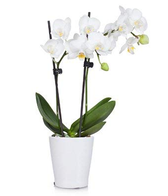(Plants - Pearly White Orchid Plant (Free Pot Included))
