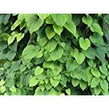 New Dioscorea villosa Wild Yam 10 Seeds,- Perennial, Zones 3-6. - fast-growing vine Seeds