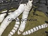SilkiesToGo 1 Silkworm Cup with 25+Live Feeder Silk Worms Great Reptile Feeder Ships Monday-Tuesday only. Made/Shipped by nwreptilefeeders