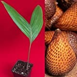 Salak Pondoh Salacca Zalacca Snake Brown Fruit Palm Tree Seedling Starter Plant
