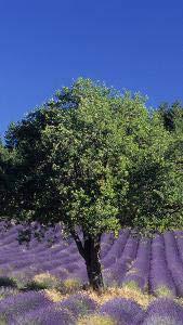 inoculated with Tuber aestivum; Black Summer//Autumn Truffle Spores Holm Oak Truffle Tree