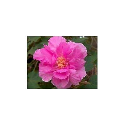Hibiscus mutabilis Confederate Rose Hibiscus Seeds! : Garden & Outdoor