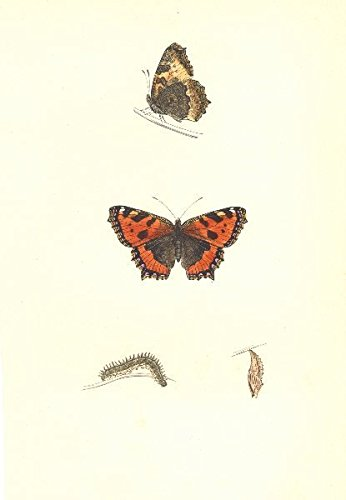 (BUTTERFLIES. Small Tortoise Shell (Morris) - 1895 - old print - antique print - vintage print - Butterflies art prints)
