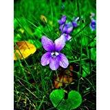 SVI 0.5g (~ 150 Seeds) 0/150 Seeds Fragrant Blue Violet Viola odorata Sweet Wild Flowers