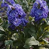 Stock Blue- (Matthiola Incana Ten Week Blue) - 50 seeds