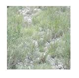 David's Garden Seeds Grass Caliche Mix ND0037 (Multi) Open Pollinated 1/2 Pound Package