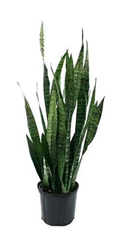 1 ZEYLANICA Snake Plant, Mother-in-Law, Sanseveria Live 20''Tall Bareroot (Premium Quality) by AY-premium