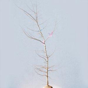エノキ 単木 樹高1.8~2.0m前後 (根鉢含まず) B01NAIY255