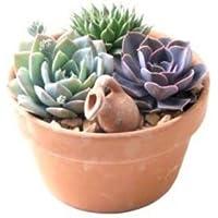 Bestseller die beliebtesten artikel in - Duftende gartenpflanze ...