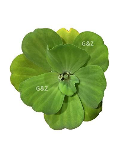 Water Lettuce, Live Aquarium/Floating/Aquatic/Pond Plant by G&Z
