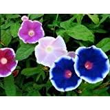Ipomea Morning Glory 40 seeds * 2 pack By Divya Seeds