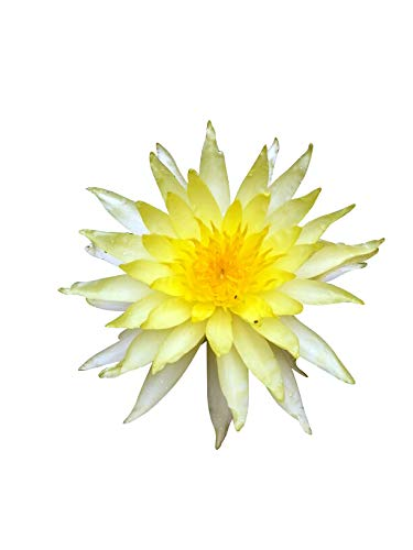 Water Lily Mix (Tropical) Lotus 2 Flowering Sized Tubers (Rar)