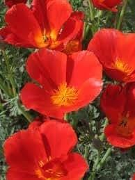 The Dirty Gardener California Poppy Mikado Flowers - 5 Pounds