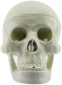 Olive-G 安心30日保証 頭蓋骨模型 頭部模型 顎関節 可動 タイプ 医療機関 医学 学校教材 骸骨 人骨 ガイコツ ドクロ ( 手のひらサイズ )