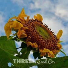 Sunflower - Mammoth Grey Stripe - 50 seeds + Free Gift - Large Striped Sunflower Seeds