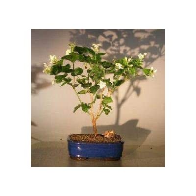 Bonsai Boy Live Bonsai Plants (jasminum sambac) : Garden & Outdoor