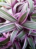 """RHOEO DISCOLOR TRICOLOR (TRADESCANTIA SPATHACEA) 2 1/4""""PLANT"""