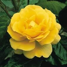 Ansells/® Korresia Bright Yellow Floribunda Traditional Bush Rose Great Gift Idea **by ONLINE GARDEN CENTRE**