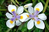 5 (Yes 5!) White Africian Iris Plants - Dietes grandiflora