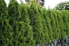American Arborvitae (Thuja occidentalis), 50 seeds