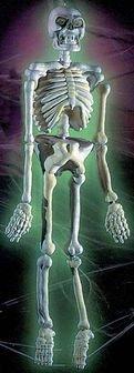 Moulded 3D Skeleton Prop (5ft tall) Bristol Novelties