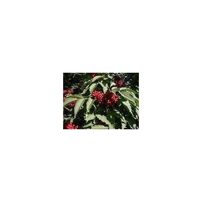 Sambucus racemosa RED ELDERBERRY Shrub Seeds! : Garden & Outdoor
