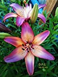 25-bulbs[12cm/14cm] LILY~ROYAL SUNSET~FLOWER BULBS 48'' TALL HARDY PERENNIAL PLANTS HUMMINGBIRDS LIKE